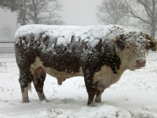 bull-in-the-snow