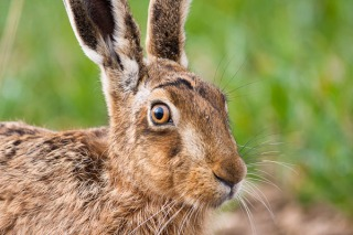 common-hare-94201