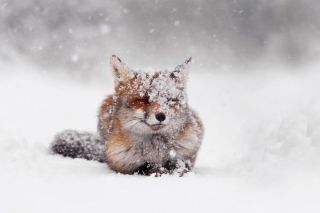 red_fox_snow_storm1__8801