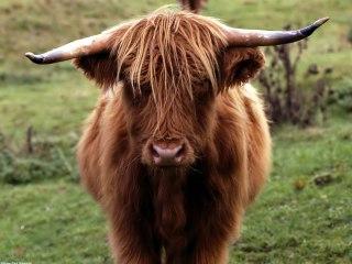 scotland-bull-photo