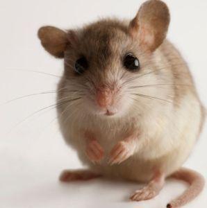 a-female-alabama-beach-mouse