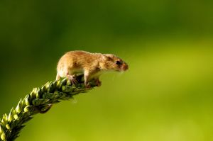harvest-mouse