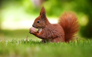 squirrel-hd-wallpapers-and-pictures-3