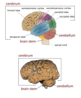 Brain_regions
